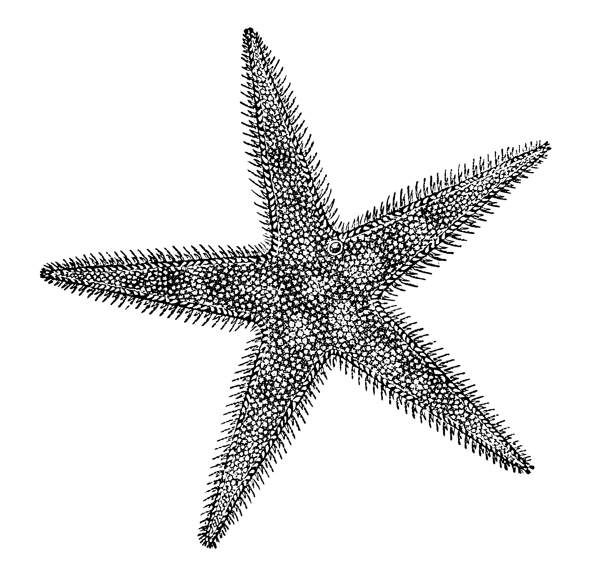 hight resolution of sea star diversity drawing