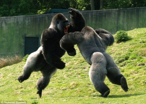 Photos-Of-Gorilla-Fighting-1