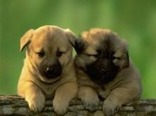 Puppy-41