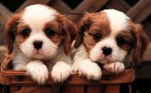 Puppy-43