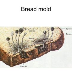 Fungus Cell Diagram Labeled Plot Graphic Organizer Worksheet Ever Eaten Bread After Cutting Off The Moldy Parts? Here's Why You Shouldn't