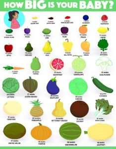 Fruit comparison chart to size of  fetus in pregnancy also what happen your body during the trimesters rh shared