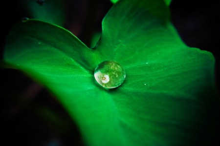 Green leaf with water droplet, reflection of dandelion flower in droplet.