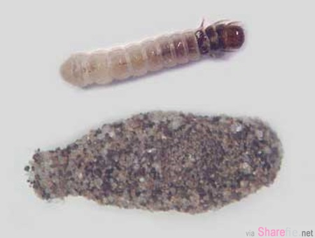 你家也有這種「黏在牆壁上的蟲」嗎? 請一定要認識牠,深柚木