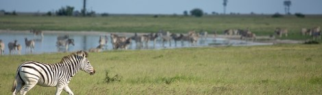The Botswana Zebra Migration: Makgadikgadi Pans