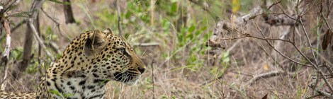 Leadwood Lodge: Searching for Leopards
