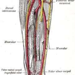 Upper Arm Muscle Diagram Human 2005 F350 Fuse Panel Arterial System