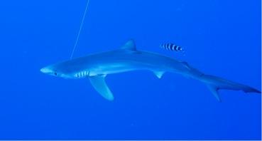 Expédition Requin au Nord de la Corse