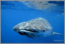 L'huile de foie de requin baleine, allez-vous avaler ça ?