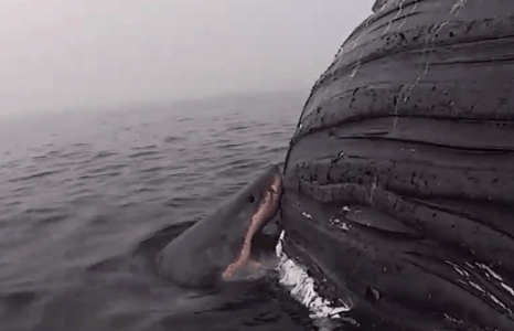Video shows pregnant white shark gorging on whale carcass