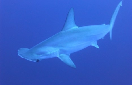 Study finds endangered sharks make up third of global fin trade