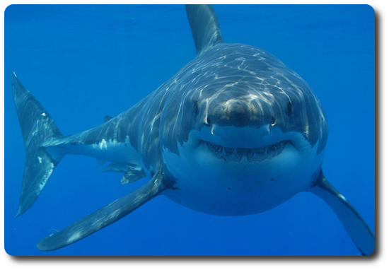 great white shark food chain diagram rj11 wall jack wiring facts like habitat size diet sider