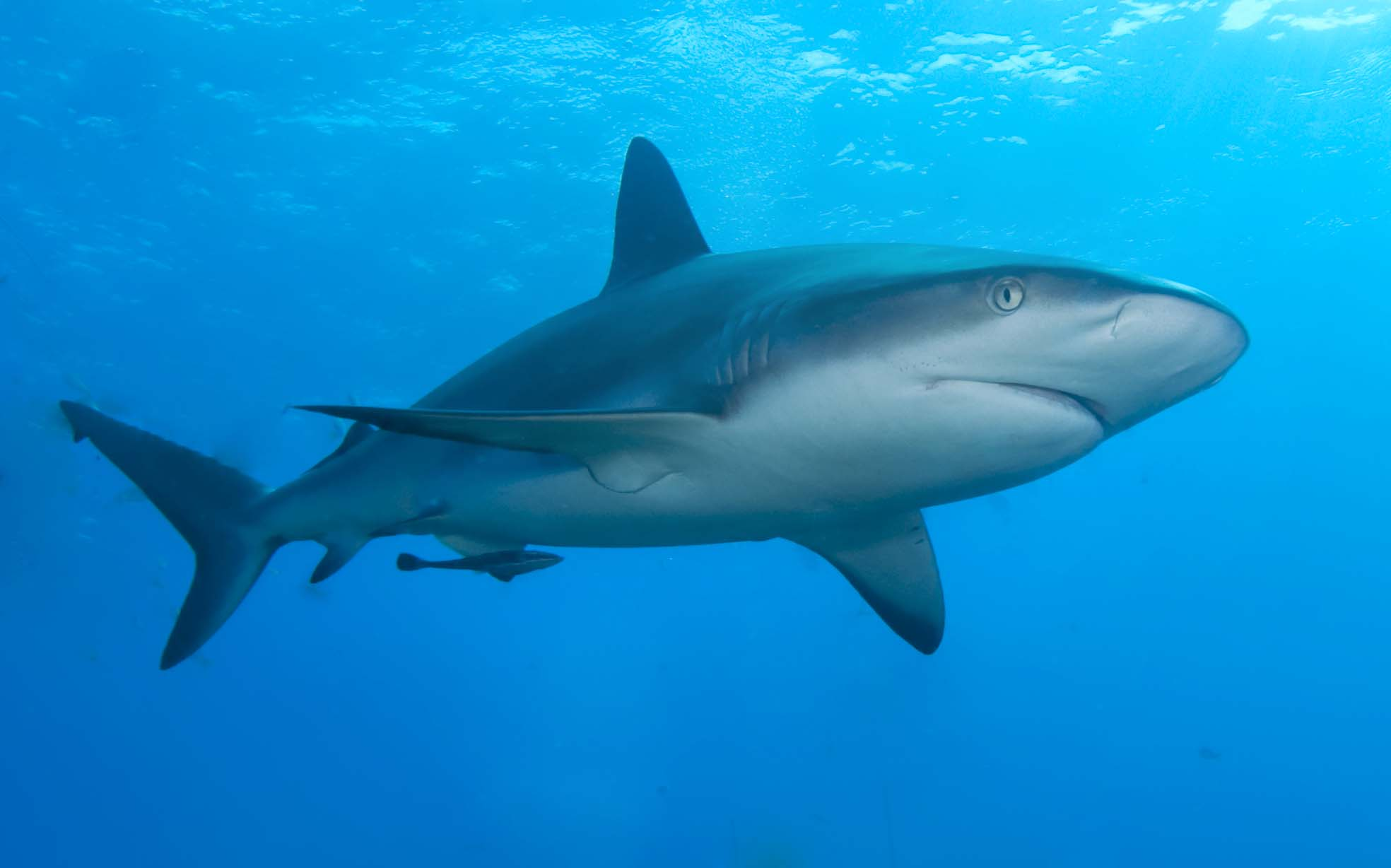 6 Facts About The Caribbean Reef Species Of Shark