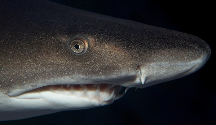 A ragged tooth shark in the ocean