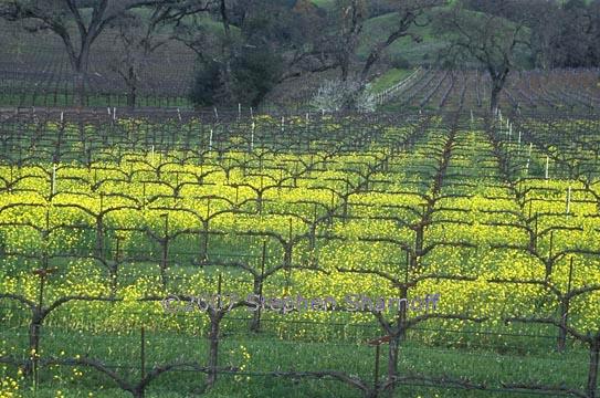 mustard flowers 1