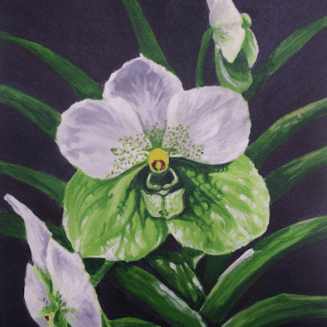 Euanthe Sanderiana orchid