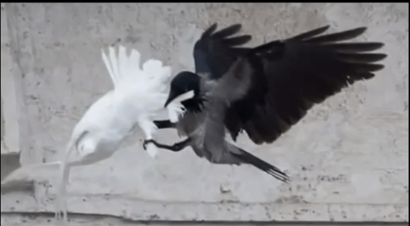 Apocalypse  Pope Francis s peace doves attacked by birds at Vatican   YouTube