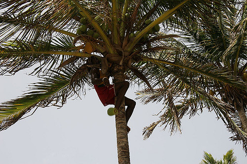 Black-Man-Plucks-Coconut-from-Fruit-Trees-Trinidad
