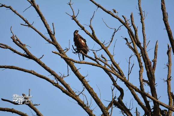 Bald Eagle (Juvenile) & Baltimore Oriole