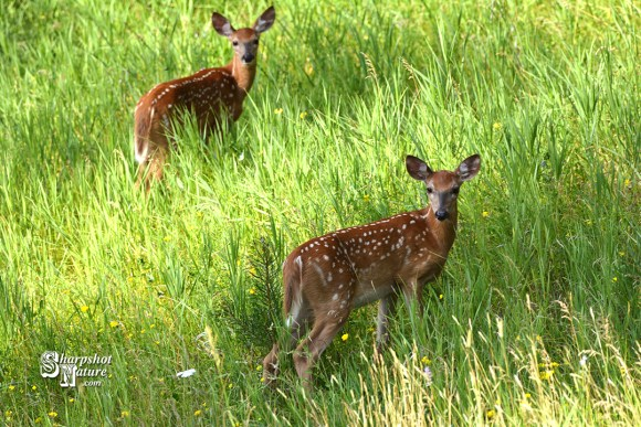 White-Tail Deer Fawns