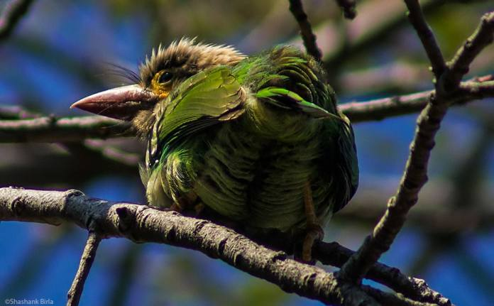 The brown-headed barbet (Megalaima zeylanica): The word 'Barbet' is derived from the French word 'Barbe' meaning beard, so named for the trademark whiskers around its bill.