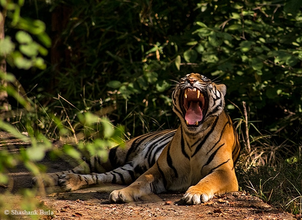 Tigress Yawn