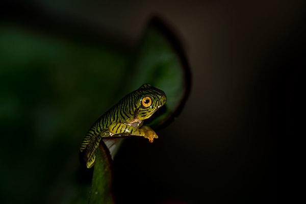 Rhacophorus Pseudomalabaricus froglet 600
