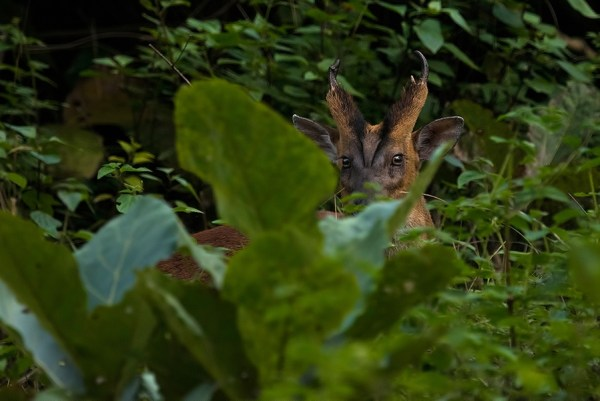 True to its nature, this shy barking deer or Indian muntjac bounded off seconds after we laid eyes on it