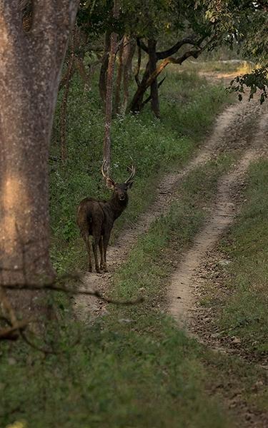 Sambar stag path