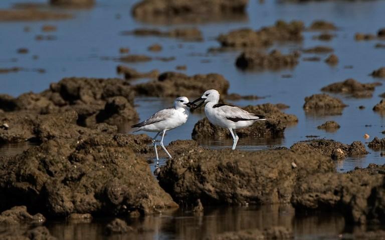 Crab-Plover-feeding-juvenile