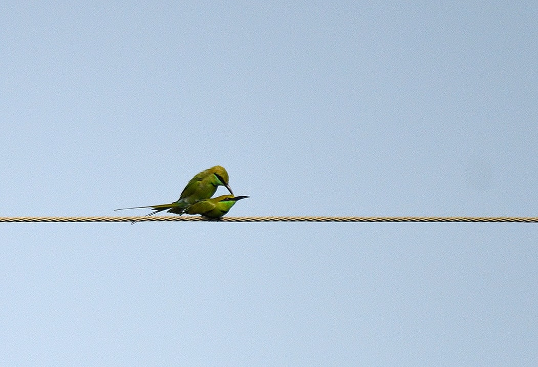 Green-Bee-eaters-mating