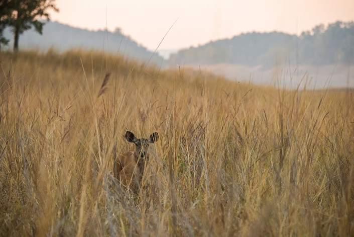 A sambar doe in the grasslands of Pench Tiger Reserve, Maharashtra