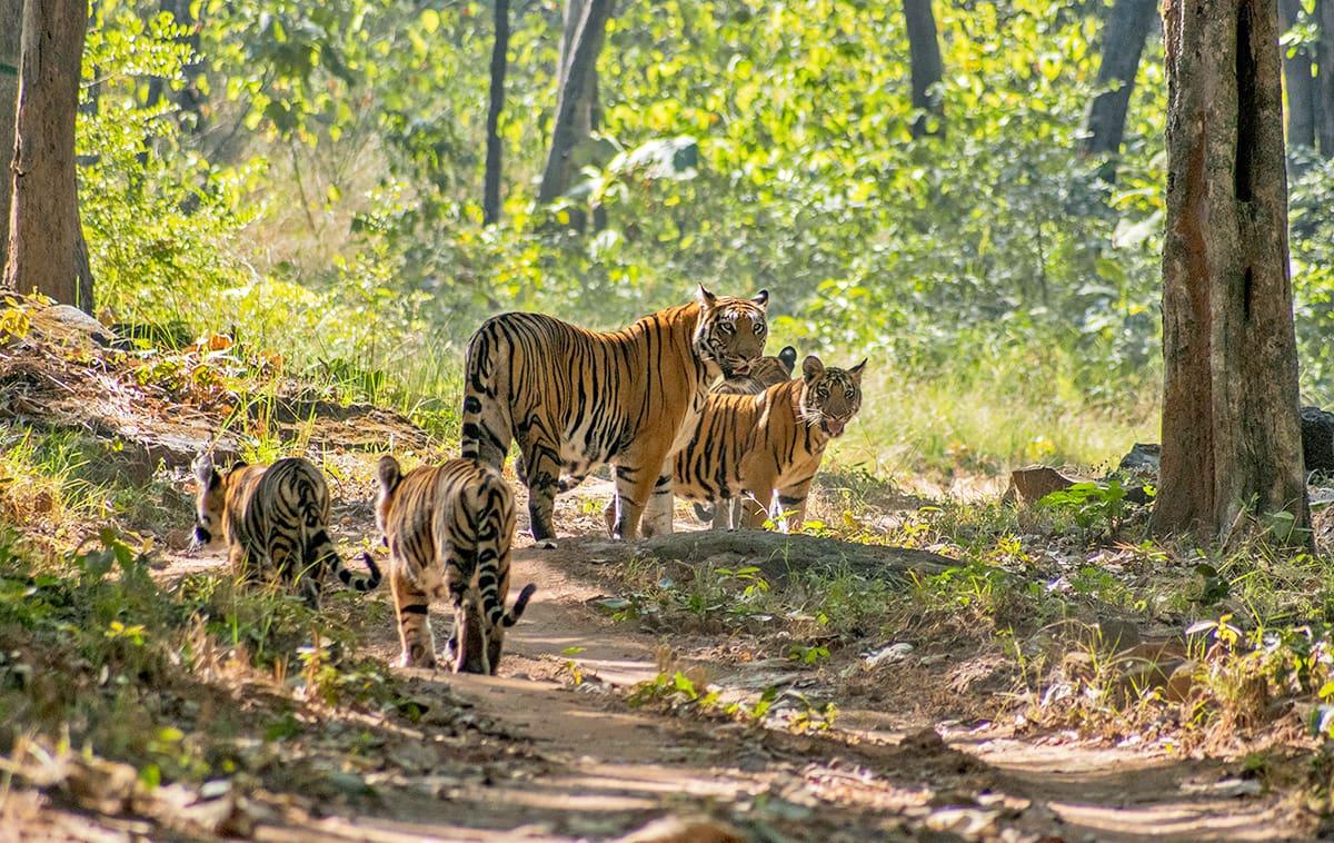 Satpura tigers