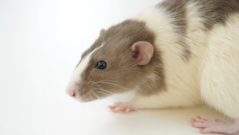A ginger and white rat sitting on the right hand side of the frame looking towards the left.