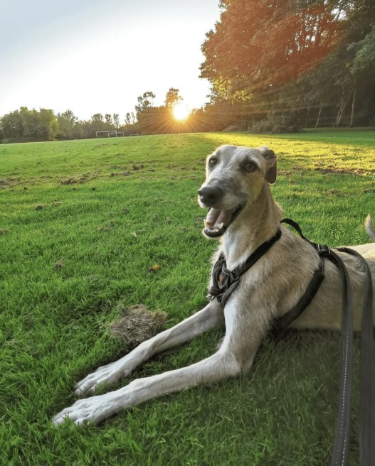@lurcherboyjasper sitting and smiling in the grass at Johnstown Park in Finglas as the sun sets behind him