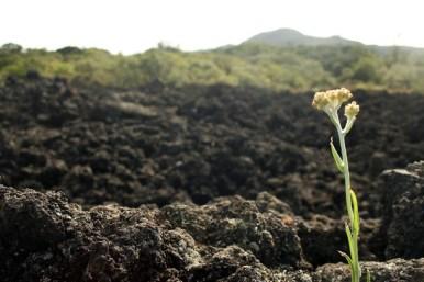 Spärliche Vegetation auf Rangitoto