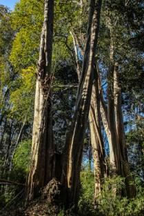 Verschlungene Dschungelbäume