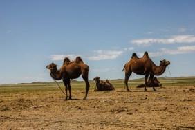 Ulzis Kamele