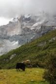 Yaks grasen vor dem Mt. Chenresig