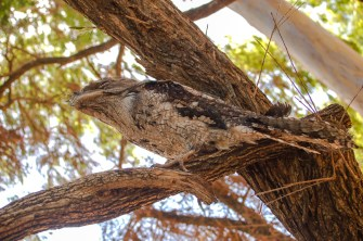 Tawny Frogmouth (Eulenschwalm)