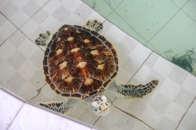 Green Turtle im Turtle Conservation and Education Center Bali