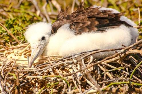 Junger Fregattvogel