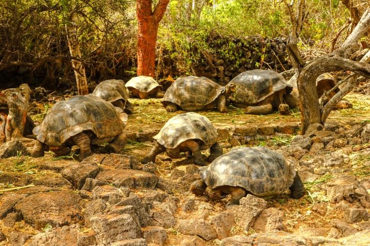 Landschildkröten in der Charles Darwin Research Station