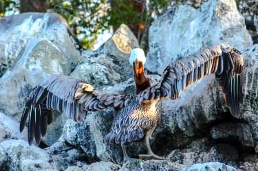 Ein Pelikan spreizt seine Flügel