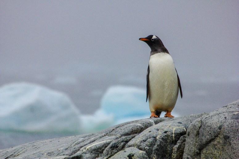 """Eselspinguin (Gentoo Penguin) gehören zu den Langschwanzpinguinen. Sie sind leicht an ihrer Art weißen """"Haarreifen"""" am Kopf erkennbar und sind außerdem die größten der Langschwanzpinguine"""