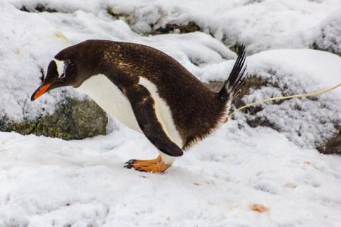 Pinguin in unpässlicher Lage