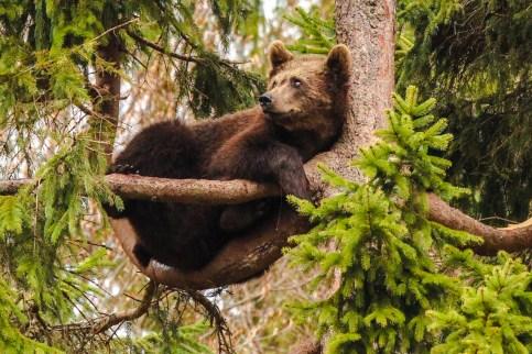 Braunbär Ralu zeigt seine Kletterkünste