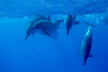 Ostpazifische Delfine in Sataya