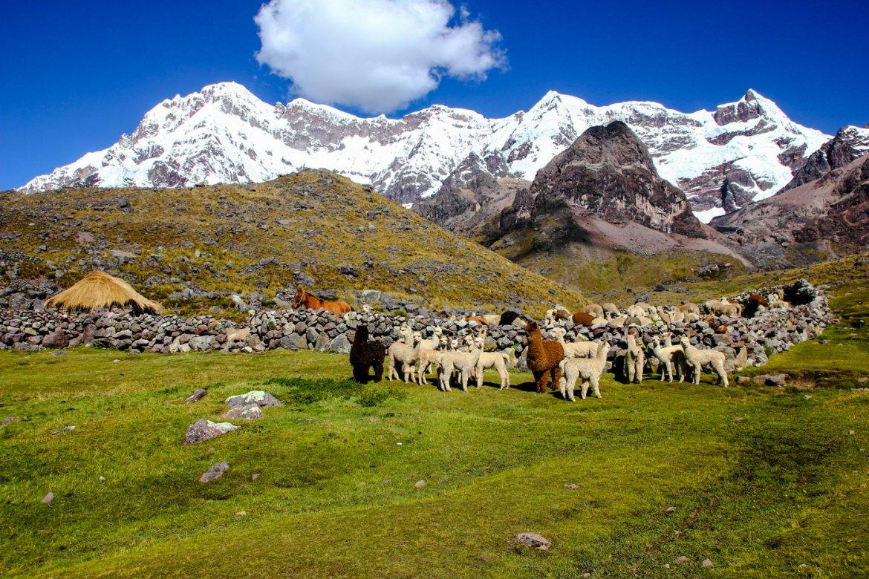 Lamas auf dem Ausangate Trek in Peru