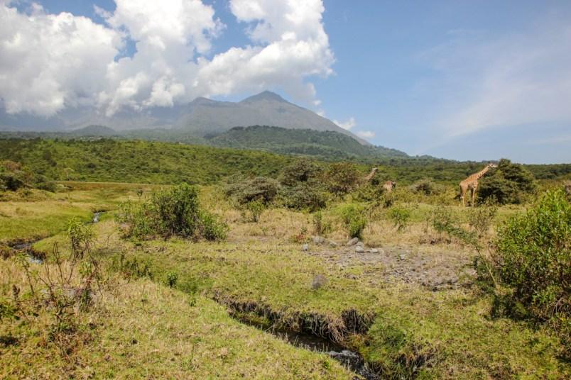 Giraffen vor dem Mount Meru, letzter Tag der Meru Besteigung